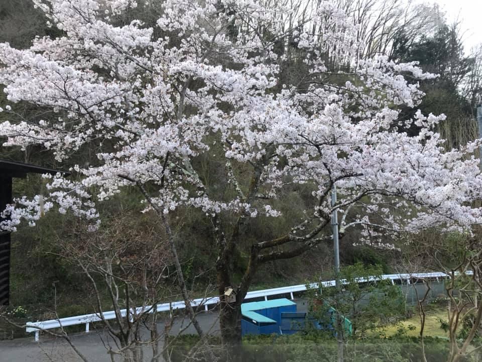 こんな春でも、我が家のサクラは満開です! が・・・。